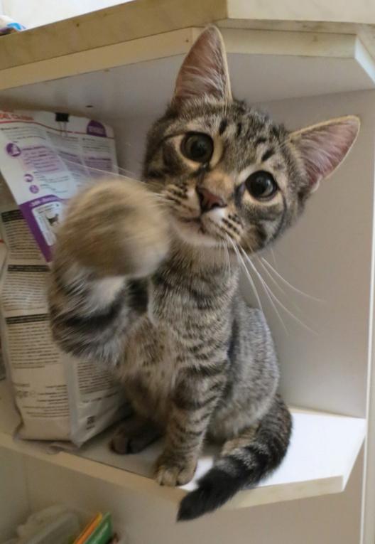 Крупный, ручной котнок Васенька в дар. 4 месяца
