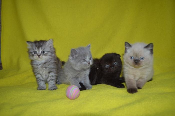 Котята шотландские различных окрасов.