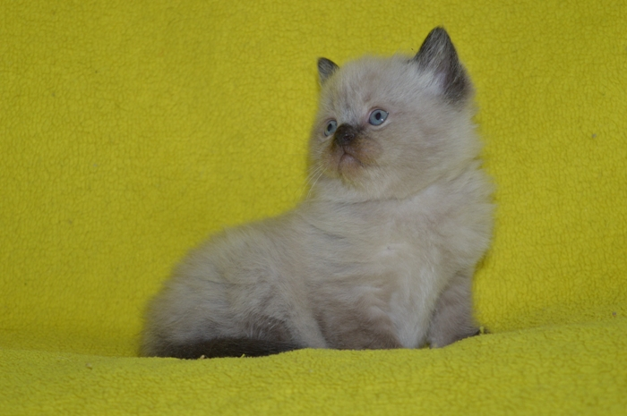 Котята-котики шотландские прямоухие окраса сил-поинт.